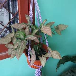 Tanaman +pot +tali gantung .kirim by gosend