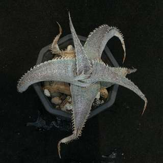 Dyckia marnier-lapostollei - small