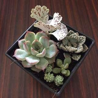 Mixed Rare Succulent