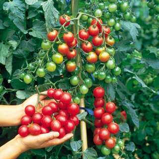 Gardening ♡ F1 Sweet Millions Tomato Seeds X 20 (From US)