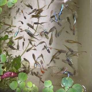 孔雀魚 孔雀魚寶寶