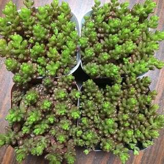 Succulents sedum