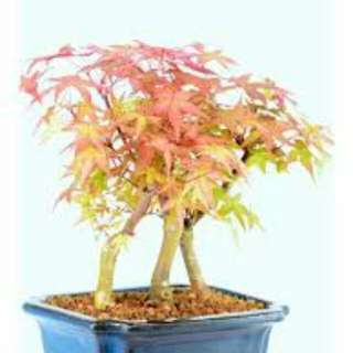 Gardening ♡ Japanese Red Maple Japanese Maple Bonsai (Acer palmatum) Seeds X 15 (From Japan)
