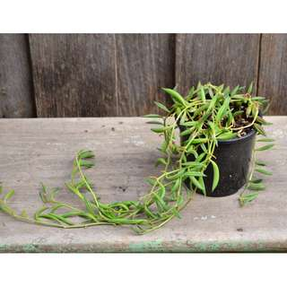Senecio Radicans String of Bananas Trailing Succulent Plant Grown in 10 cm Pot