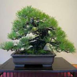 Gardening ♡ Black Pine Bonsai Seeds X 10
