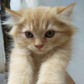 My persian kittens 💕