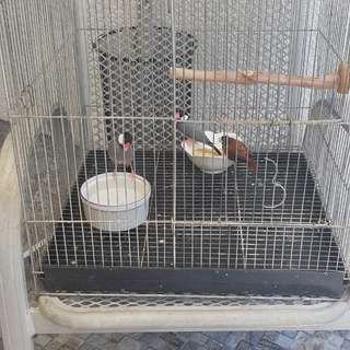 For Sale Pair of Java Sparrow Including Bird Cage