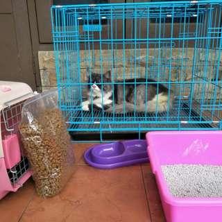 Jual kucing persia umur 8 bln