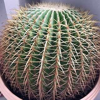 """2 x Jumbo Cactus Plant (12"""" wide)"""