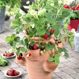 Gardening ♡ Coast Strawberry Seeds For Planting