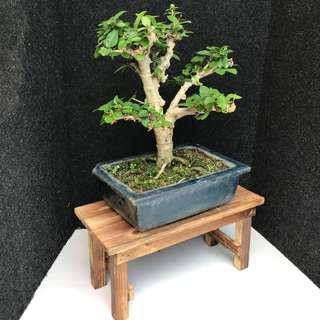 🌳Mini Shui Mei Bonsai 🌳