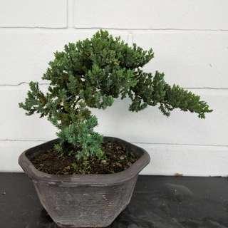 Bonsai Dwarf juniperus chinensis