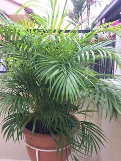 Yellow Palm (pot excluded)