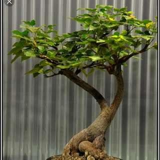Brachychiton bidwillii - little bottle tree 20 seeds