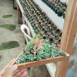 Kaktus Mini (List Harga personal message)