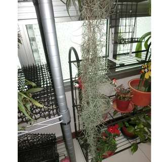 Tillandsia Spanish moss for sale