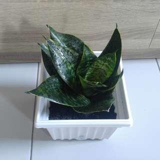 Sansevieria aka Snake Plant