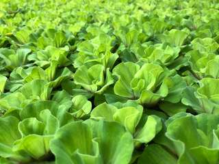 Water lettuce for sales