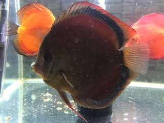 Discus - Red Cover