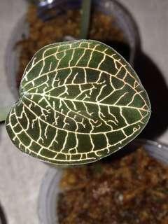 Anoectochilus roxburghii (Jowel Orchid species)