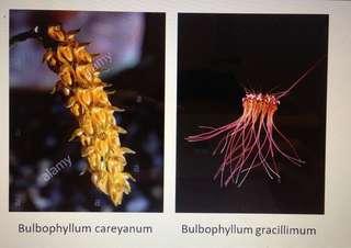 Bulbophyllum gracillimum and Bulbophyllum no id species