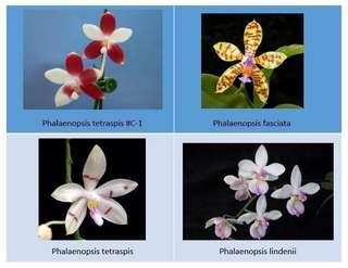 Phalaenopsis species seedlings