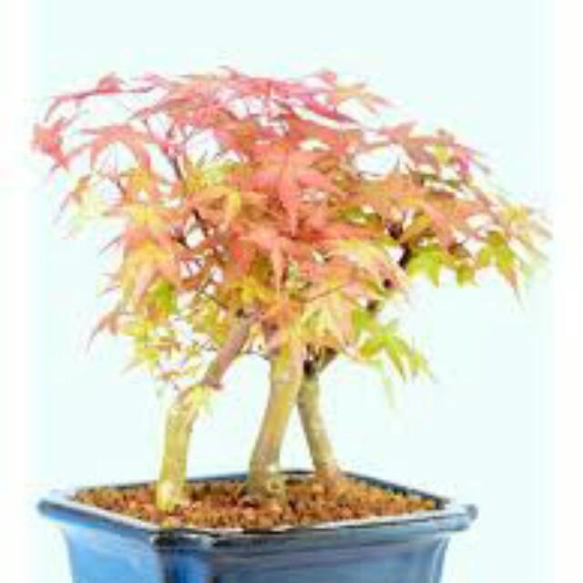 Gardening Japanese Red Maple Japanese Maple Bonsai Acer Palmatum