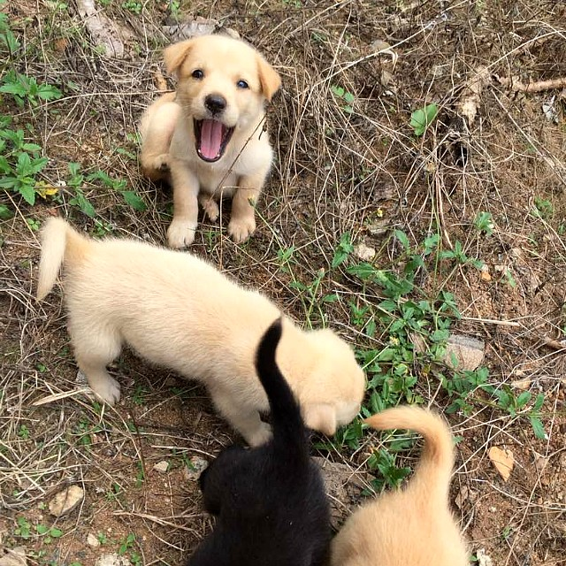 Golden Retriever/ Labrador Retriever Puppies for adoption in Melaka