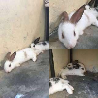 Anak Kelinci Campuran Umur 3 Bulan