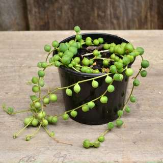 Senecio Rowleyanus String of Pearls Trailing Succulent Plant Grown in 8 cm Pot