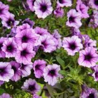 Gardening ♡ Petunia Seeds X 20