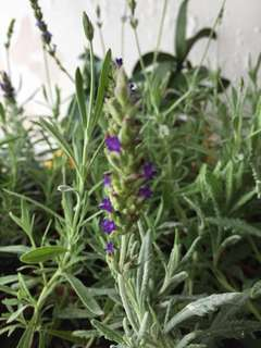 Lavender in pot