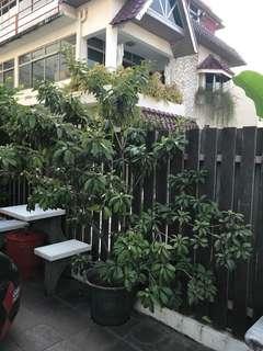 Plant - fruit tree, full of fruits, Chiku