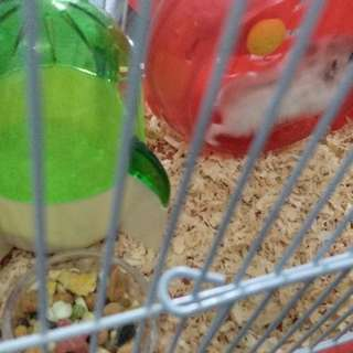 Hamster Winter White With Cage Complete