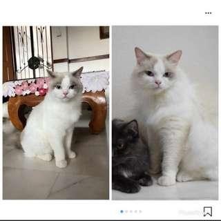 Cat Grooming (Cck)