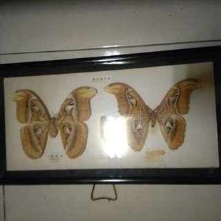 龍頭蛾標本