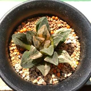 (Collector's Series) Haworthia 'Kegani' Variegated 6cm