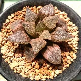 (Collector's Series) Haworthia Emelyae variant 6cm