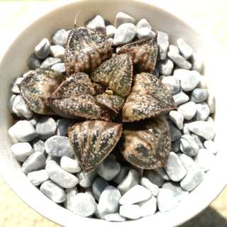 (Special Selection) Haworthia 'Snow Scene' Picta 5cm