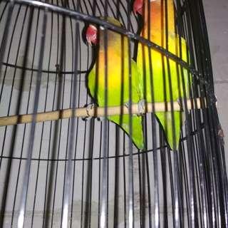 Burung Lovebird apa adanya.