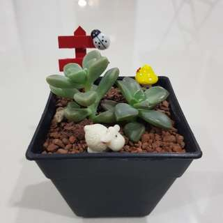 Succulent for birthday gift!