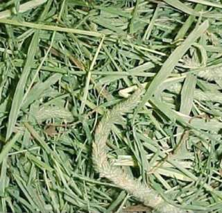 Fresh aromatic Timothy Hay
