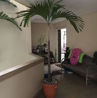 Palm Tree- perfect for balcony or roof terrace 🌴