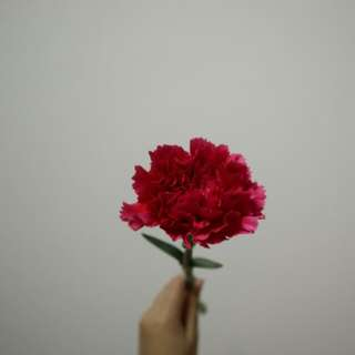 Carnation to show your love