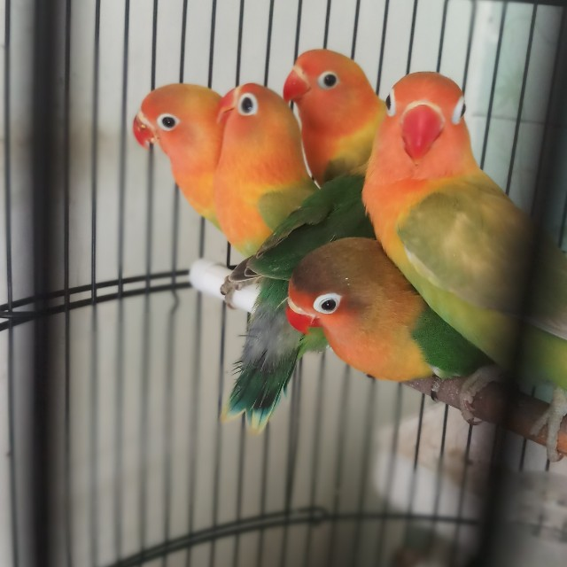 Anakan lovebird(paud)