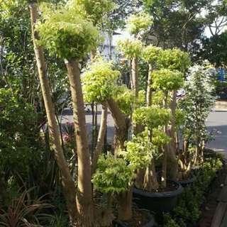 Jual tanaman anting putri / Bonsai anting putri