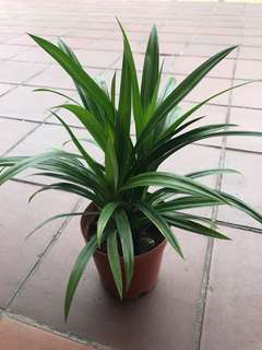 Pandan leaf plant