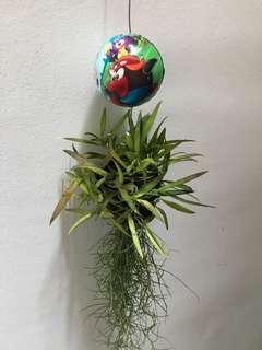 Hanging Flowering succulent