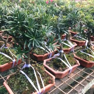 🌲ARTISTIC Podocarpus Bonsai