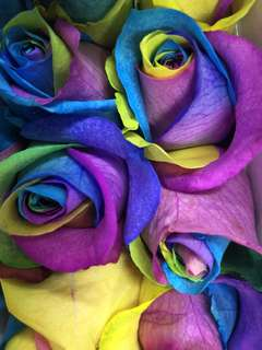 Rainbowed colour rose